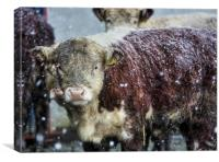 Hereford Heifer Calf in a Welsh Mountain Snowstorm, Canvas Print