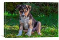 Welsh Sheep dog Puppy, Canvas Print