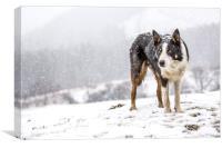 Taff snow dog, Canvas Print