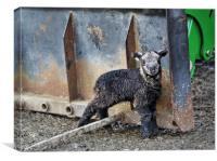 Herdwick Lamb by tractor, Canvas Print