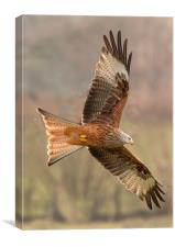 Welsh Red Kite , Canvas Print