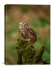 Little Owl Athene noctua Wales, Canvas Print