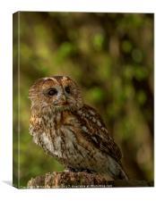 Tawny Owl , Canvas Print