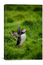 Puffins on Skomer, Canvas Print