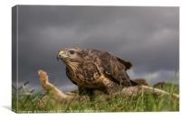 Buzzard on rabbit in Mis Wales, Canvas Print