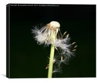 Dandelion Night Fall, Canvas Print