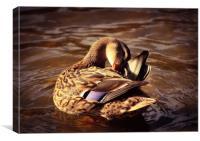 Mottled duck, Canvas Print