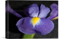 Purple flower close up/macro, Canvas Print