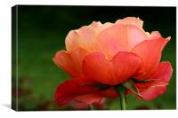The Beauty Of A Rose, Canvas Print