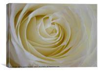 A single white rose , Canvas Print