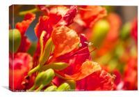 Poinciana blossoms , Canvas Print