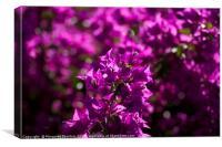 Vibrant Bougainvillea blooms , Canvas Print