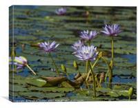 Lotus loveliness , Canvas Print