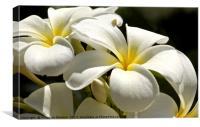 Frangipani in full bloom , Canvas Print