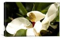 Magnolia close up, Canvas Print