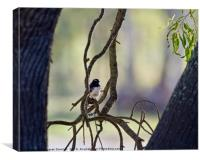 Willy Wagtail , Canvas Print