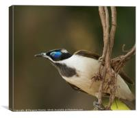 Blue-faced Honeyeater , Canvas Print