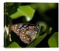 Blue Tiger Butterfly , Canvas Print
