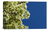 Maple leafs and vivid blue sky, Canvas Print