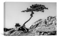 Stone Pine, Canvas Print