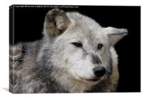 Grey Wolf Close-Up (Canis lupus), Canvas Print