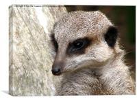 Meerkat (Suricata suricatta), Canvas Print