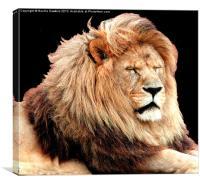 Sleepy Lion (Panthera leo), Canvas Print
