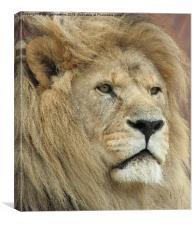 King of the Jungle  (Panthera leo), Canvas Print