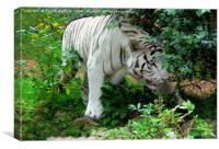 White Bengal Tiger (Panthera tigris tigris), Canvas Print