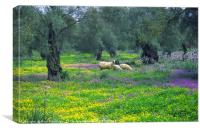 Sheep amongst the Olive Groves, Canvas Print