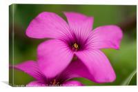 Close up of a purple flower, Canvas Print