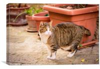 A cat in a street of Colle Val d'Elsa, Canvas Print
