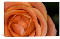 Glistening Dew on a Peach Rose, Canvas Print
