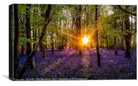 Bluebells evening colour Sun burst, Canvas Print