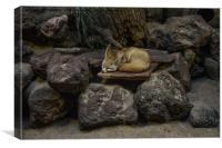 Fennec Fox sleeping on rocks, Canvas Print