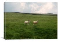 Twin Sheep on a hillside, Canvas Print