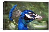 Peacock Portrait, Canvas Print
