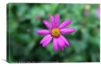 Bunga Asta Daisy      , Canvas Print
