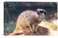 Meerkat on the Lookout., Canvas Print