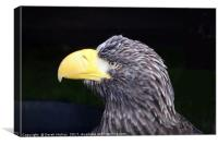 Steller's Sea Eagle                               , Canvas Print
