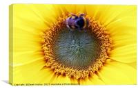 Busy Bee on Sunflower                            , Canvas Print