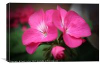 Pink Geranium                              , Canvas Print
