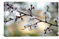 white flowers on spring flowering tree, Canvas Print