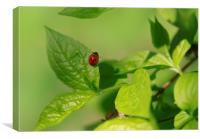red ladybug sitting on green leaf, Canvas Print
