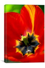 red tulip close up, Canvas Print