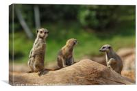 Meerkats on guard, Canvas Print