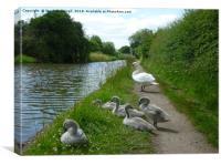 Happy Cygnets, Grand Union Canal, Warwick, Canvas Print