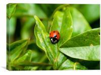 Single Ladybird, Canvas Print