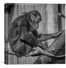 Bonobo Chimpanzee - Pan, Canvas Print