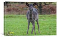 Young Black Deer, Canvas Print